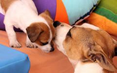 Incontro tra cucciolo e cane adulto: come fare?