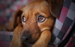 Como saber si mi perro tiene fiebre: alertas de cuidado