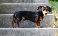 Perro salchicha mini: pequeños adorables del hogar