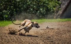 Magyar Agar, carattere e prezzo - Razze cani