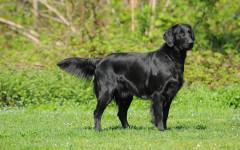 Flat coated retriever, carattere e prezzo - Razze cani