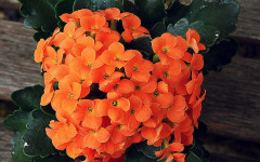 Kalanchoe - Poisonous Plants to Dogs and Cats