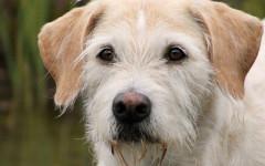 Irish Wolfhound, carattere e prezzo - Razze cani