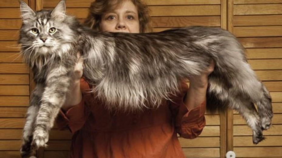 Gato más grande del mundo: ¿cuál es la raza más grande?