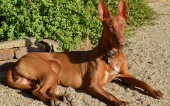 Perro egipcio: un acompañante para la eternidad