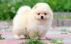 Pomerania perro: cariñoso peludo de compañía