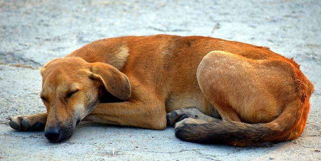 Perro pulgoso: una hermosa historia peruana