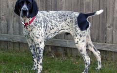 Bracco d'Auvergne, carattere e prezzo - Razze cani