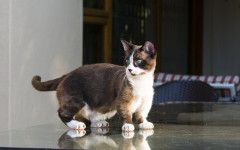 Dwarf Cat: What You Need to Know About he