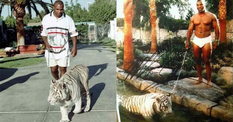 Mike Tyson Made His Tigers World Famous