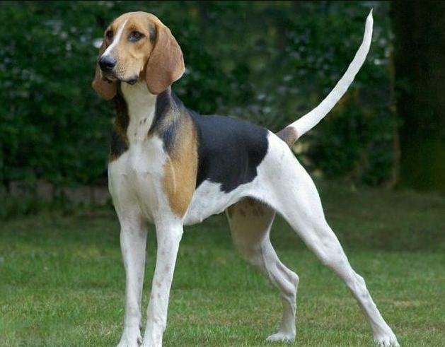 Poitevin, carattere e prezzo - Razze cani