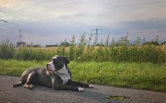 Perro bully: un perro fuerte y musculoso para conocer