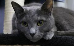 Leishmaniosi felina, sintomi, cause e come curarla