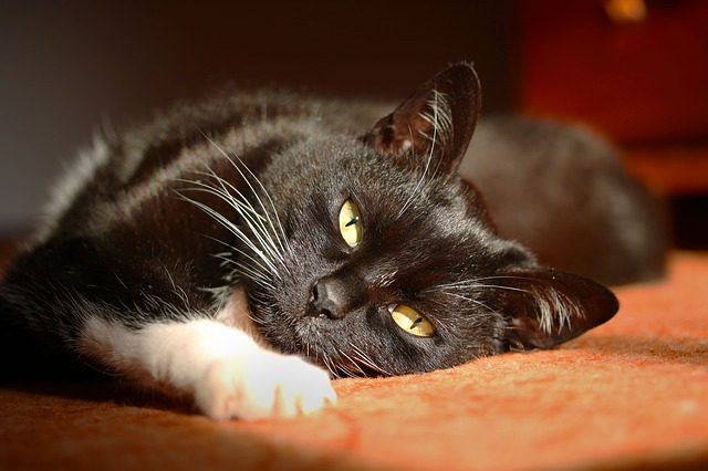 Gatto mi sveglia all'alba: perché e come dissuaderlo