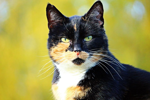 The Tortie Cat - What You Need to Know