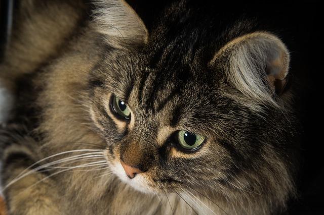 Gatto con ferite dietro le orecchie: cause e cosa fare