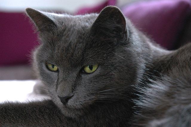 Sheba gatti, ingredienti di qualità per i felini