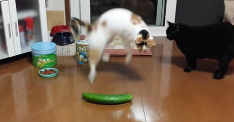 Are Cats Scared of Cucumbers? Why Should You Not do it