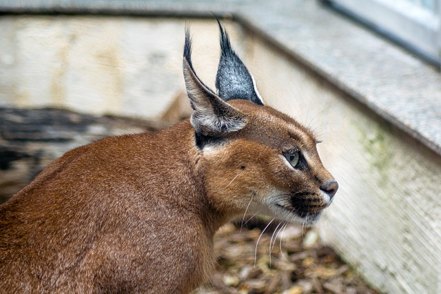 Caracal cat: A Big Exotic Cat, Characteristics and Behavior