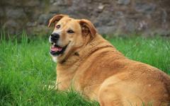 Cani obesi: un cane su tre è in sovrappeso