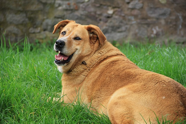 Have a Fat Dog? - Here's What You can Do