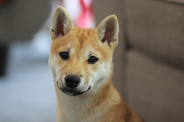 Perro Shiba Inu: un perro de elegante figura
