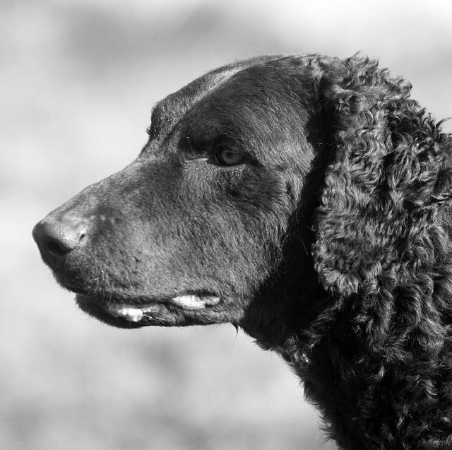 Curly-coated Retriever, carattere e prezzo - Razze cani