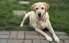 Lab dog: 5 Cool Facts You Did Not Know About this dog