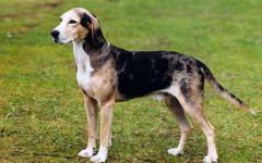 Dunker, carattere e prezzo - Razze cani