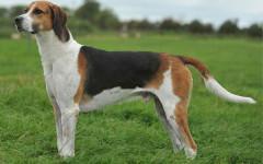 Hamilton Stovare, carattere e prezzo - Razze cani