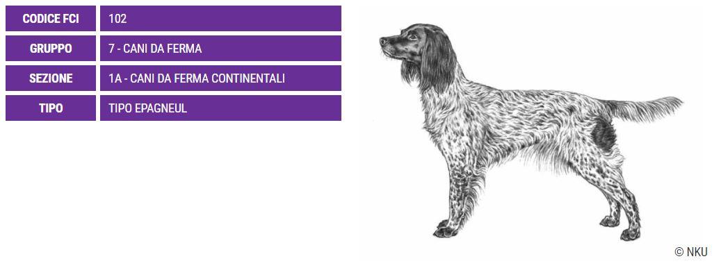 Piccolo Munsterlander, carattere e prezzo - Razze cani