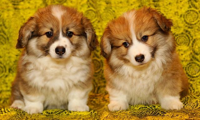 Welsh Corgi Pembroke, carattere e prezzo - Razze cani