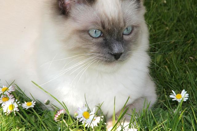 Gatos Ragdoll: todo sobre esta raza de gatos