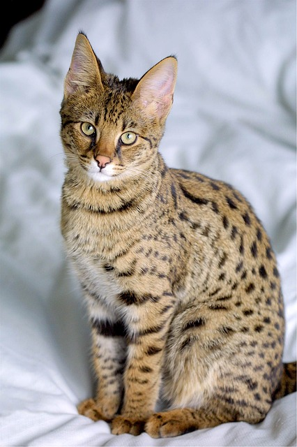 Want a Savannah Cat? Get that Wallet Ready Then