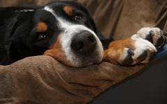 Lussazione della rotula nei cani, tipologia e trattamento