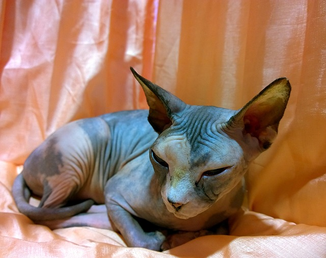 Hairless Cats: Let's see Four Breeds of Hairless Cats