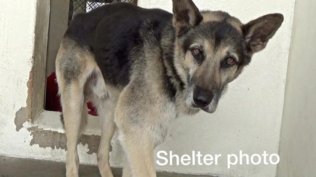 Cane anziano abbandonato: adottato e salvato