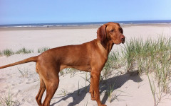 Vizsla Dog: characteristics, personality, care and fun facts