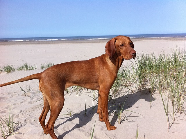 Vizsla Dog: characteristics, personality, care and fun facts