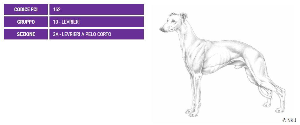 Whippet, carattere e prezzo - Razze cani