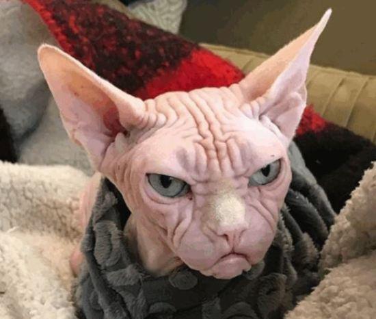 Gatto più arrabbiato del mondo: il felino Loki