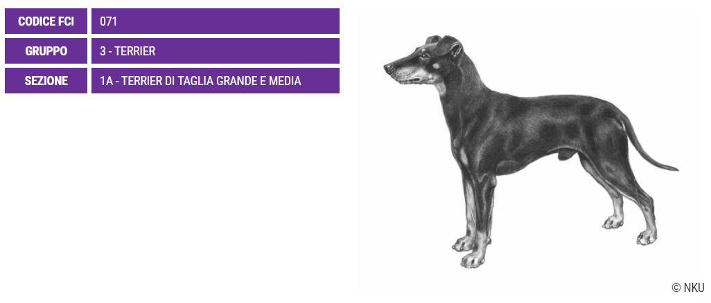 Manchester Terrier, carattere e prezzo - Razze cani