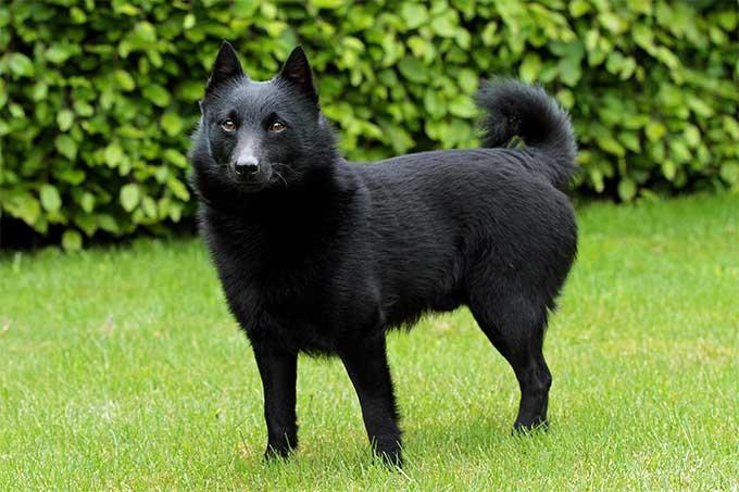 Schipperkee, carattere e prezzo - Razze cani