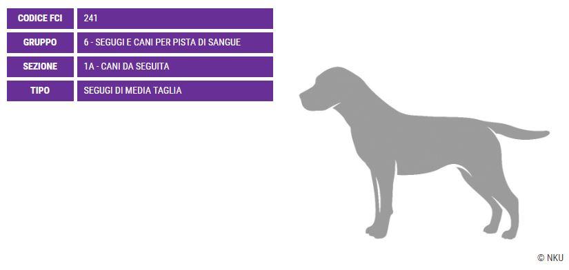 Segugio della Transilvania, carattere e prezzo - Razze cani