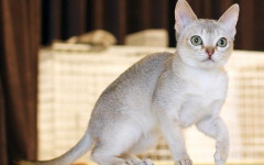 Small cat breeds: all good things come in small packages
