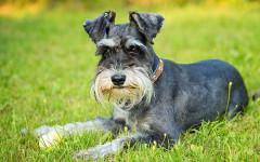 Zwergschnauzer, carattere e prezzo - Razze cani