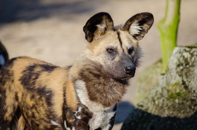 Perro salvaje: descubrimientos recientes de especies caninas