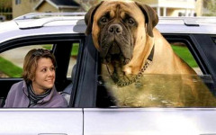 Il cane più grande del mondo: Zorba resta nei record