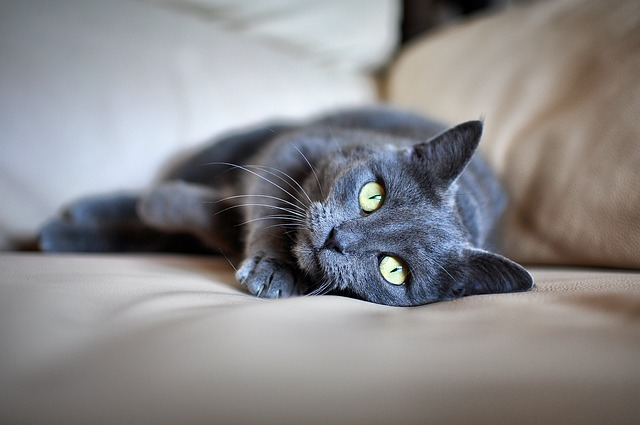 Gatti Perdono Il Pelo Perché Succede E Pericoloso Dogalize