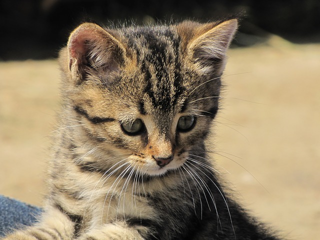 Baffi dei gatti: 10 curiosità sulle vibrisse dei felini